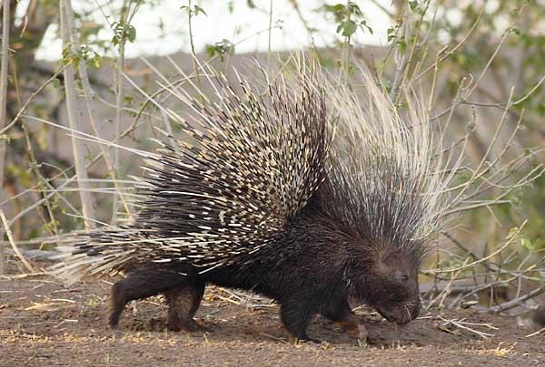 Porcupine Wars