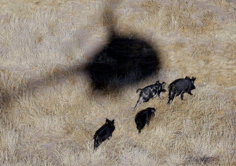 Humans v. Wild Pigs